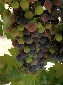 San Diego grapes for winemaking