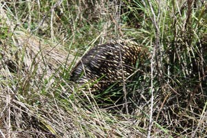 Echidnas in the bush