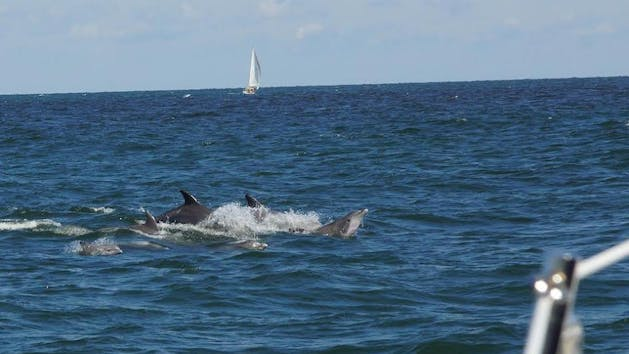Dolphins Jumping out of Water Next To Sailboat