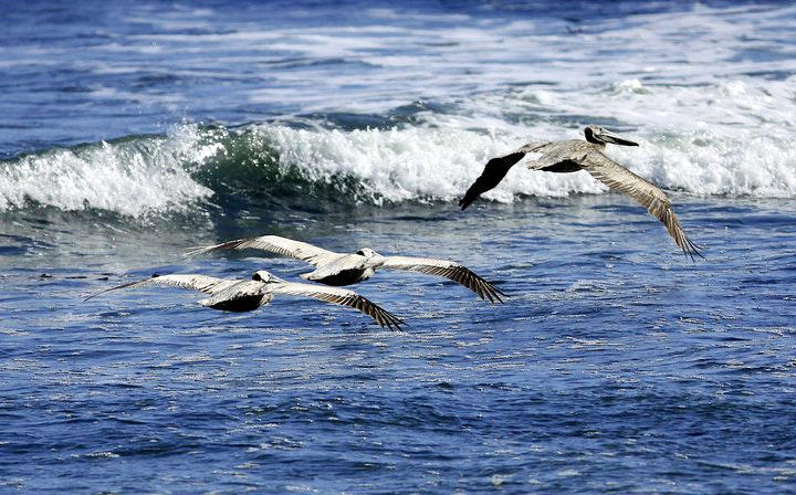 Pelicans flying over the ocean